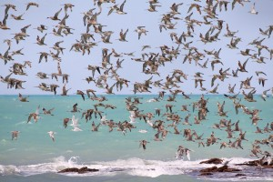 Waders_in_flight_Roebuck_Bay